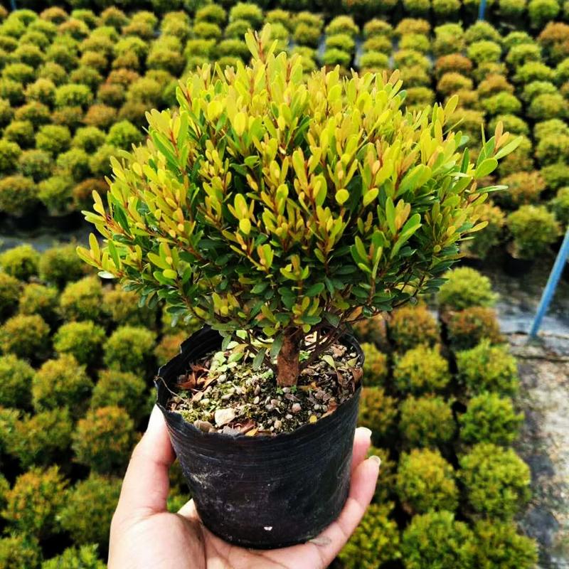 赤楠盆景迷你赤楠微景观素材缸造景微型水陆小叶盆栽木本植物赤