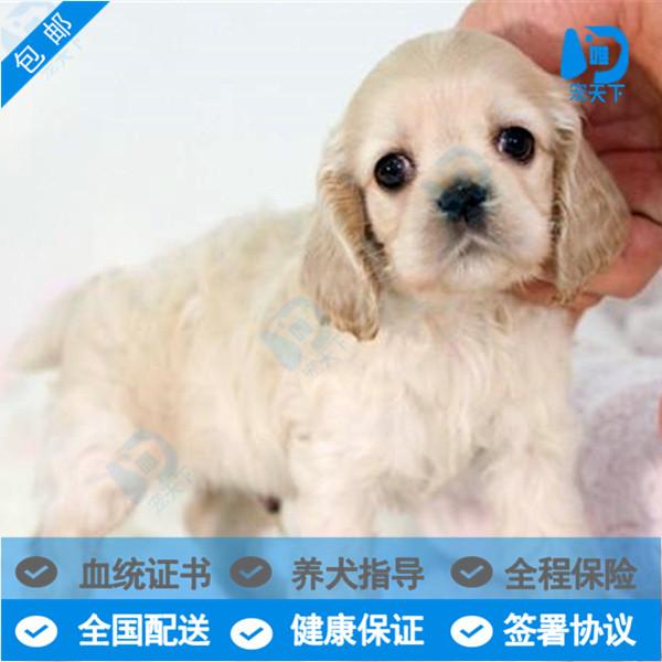 出售纯种英国可卡幼犬 美国可卡活体幼崽  家养健康可卡宠物狗狗