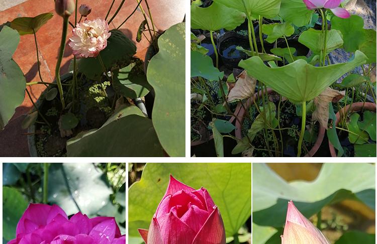 碗莲种子水培植物花种四季室内外开花不断水培睡莲荷花种子莲花种详细照片