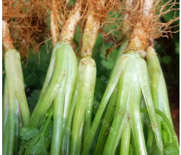 四季大叶香菜籽阳臺盆栽四季耐热芫荽种子农家庭院菜种籽蔬菜种孑详细照片