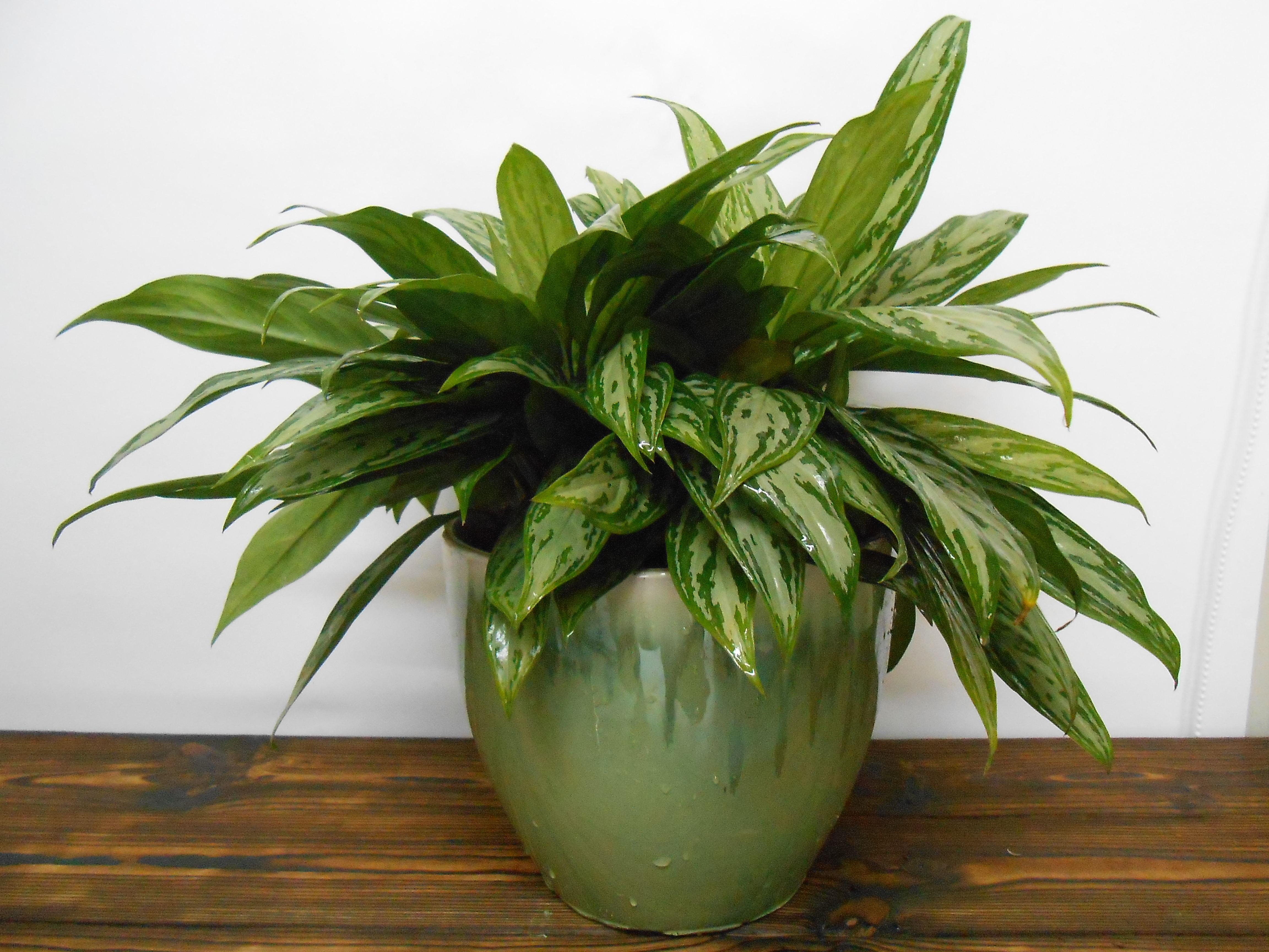 室内摆放什么植物好:装修污染气体选银皇后