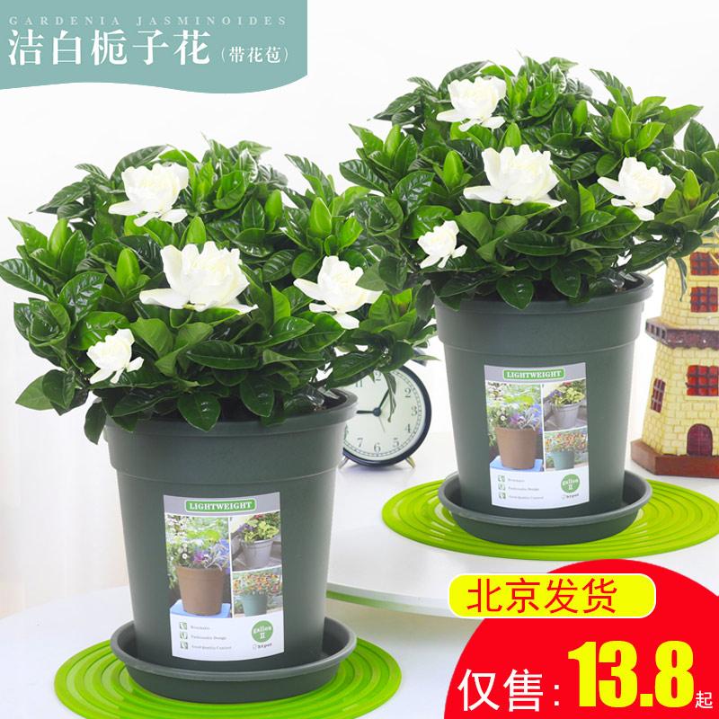 栀子花卧室带水培盆栽浓香型办公室内植物桌面开花四季花苞客厅
