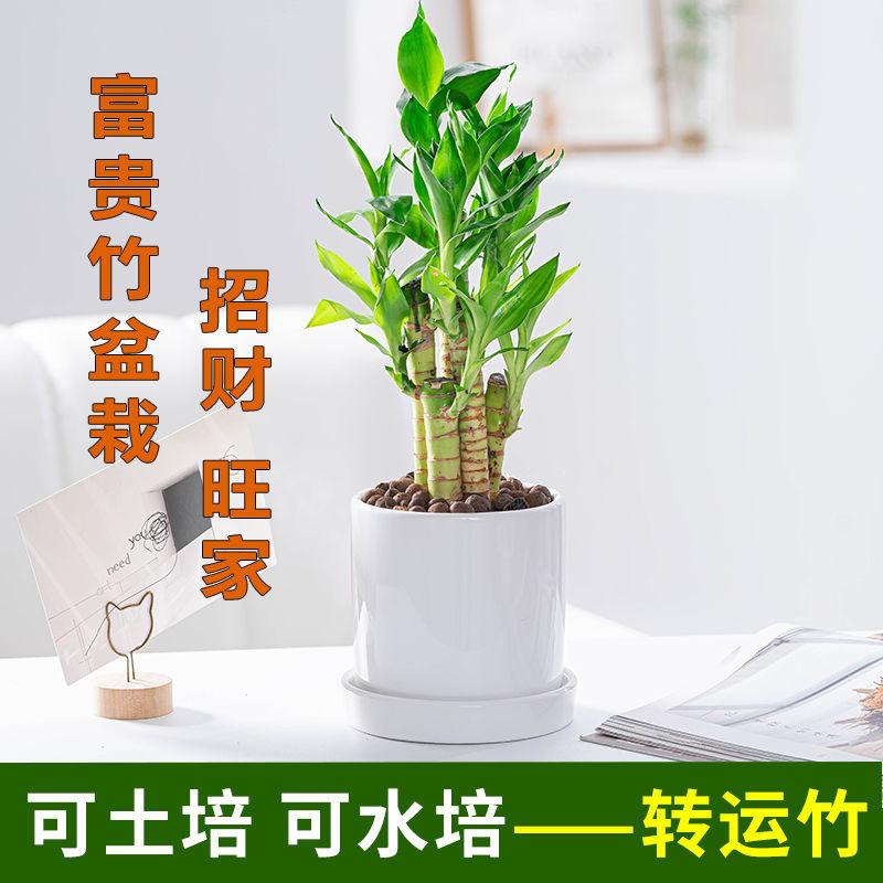 富贵竹盆栽净化空气水培土培植物客厅办公桌室内招财四季常青绿植