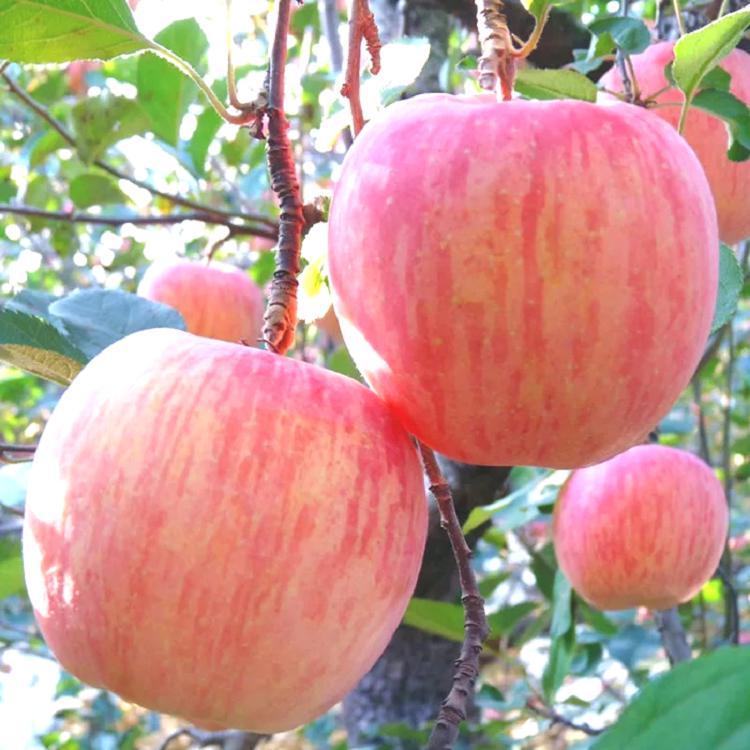 ,苹果10斤整箱食品苹果青苹果国光苹果新西兰果农糖心洛川瓦房店