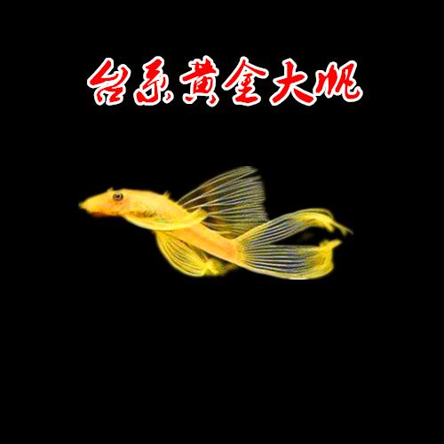 清道夫黄金鬍子大帆鱼皇冠直升机鱼小精灵老鼠鱼草缸除藻工具鱼螺详细照片