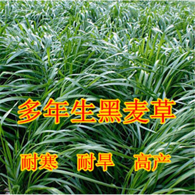 雅晴多年生黑麦草高产百绿v高产耐寒热种子坪籽包邮牛羊鱼鹅