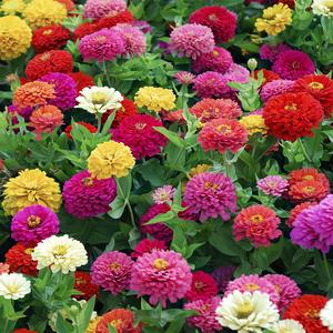 百日草花种子四季开花易活重瓣百日菊花种籽子庭院阳台室外花籽孑