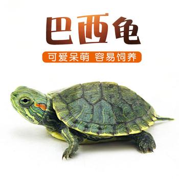 Бразилия черепаха домашнее животное черепаха размер живая тело живая вещь красная болотная черепаха вода черепаха чистый красный часы награда черепаха хорошо поддержка живая домашнее животное черепаха, цена 177 руб