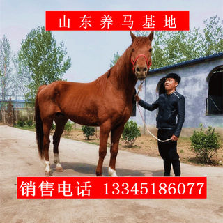 Mongolian horse live for sale scenic riding horse purebred horse live horse real horse can ride high horse