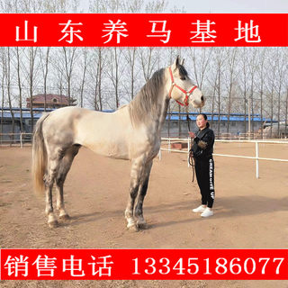 Mongolian horse live for sale scenic horse half-blood horse Ili horse trained live horse real horse small pony