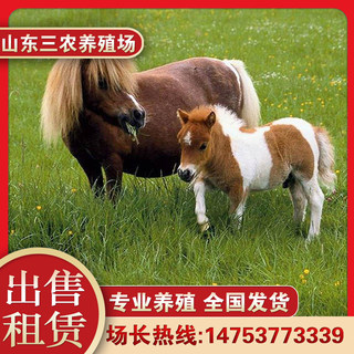 Living pony for sale mini children pony domestic small riding horse rental sightseeing Shetland pony