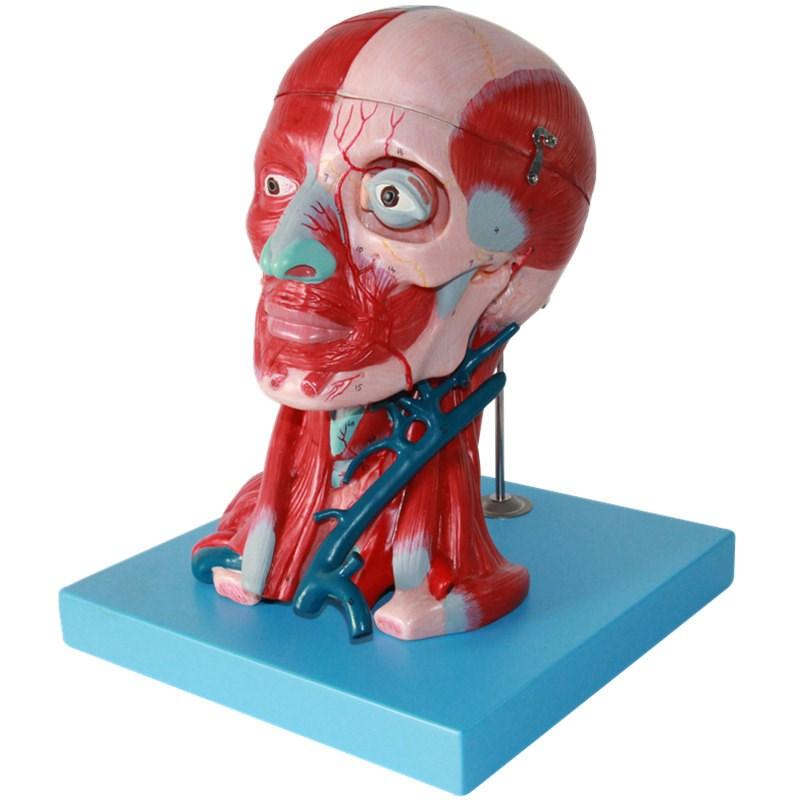 大脑头颈部神经动脉附脑医用脑模型模型头颈模型血管肌肉