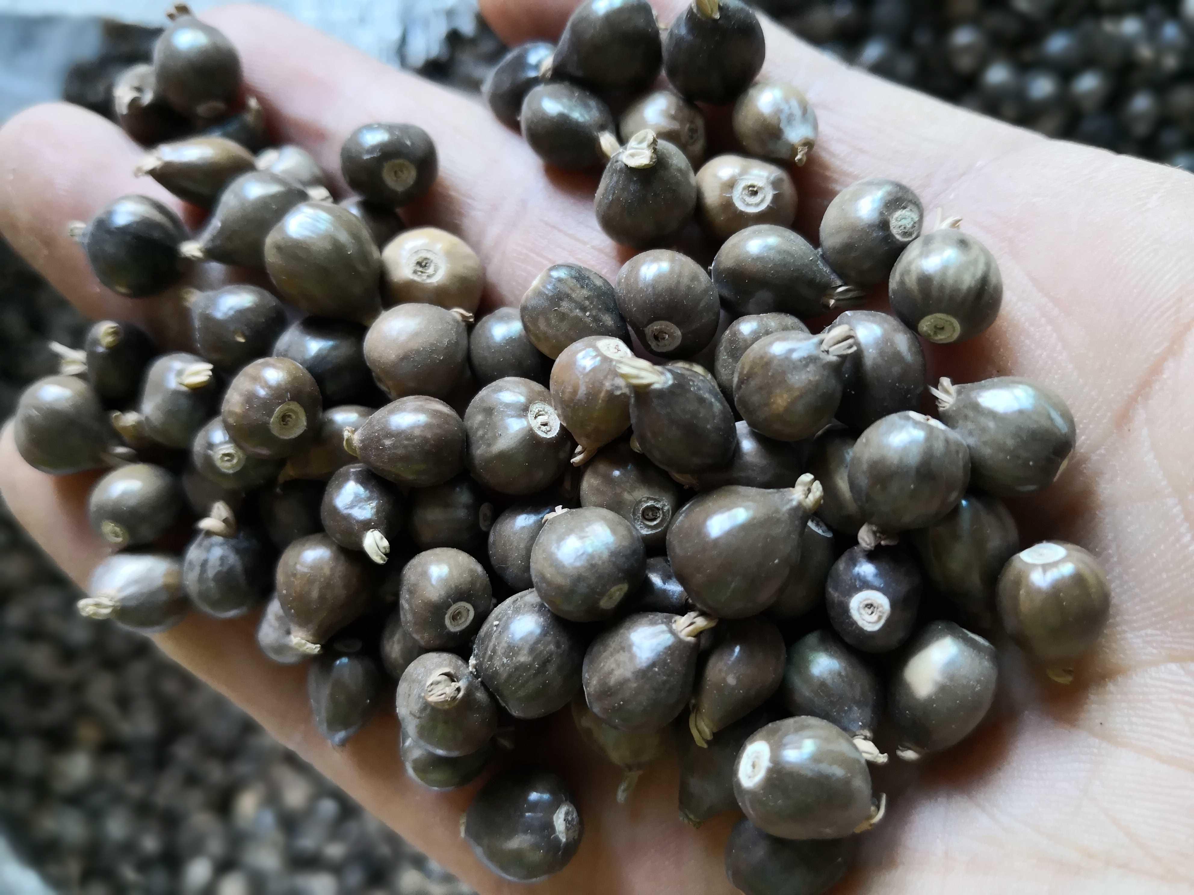 草珠子_灰黑色草菩提种子 文玩草珠子种子 尿珠子 野生薏仁种