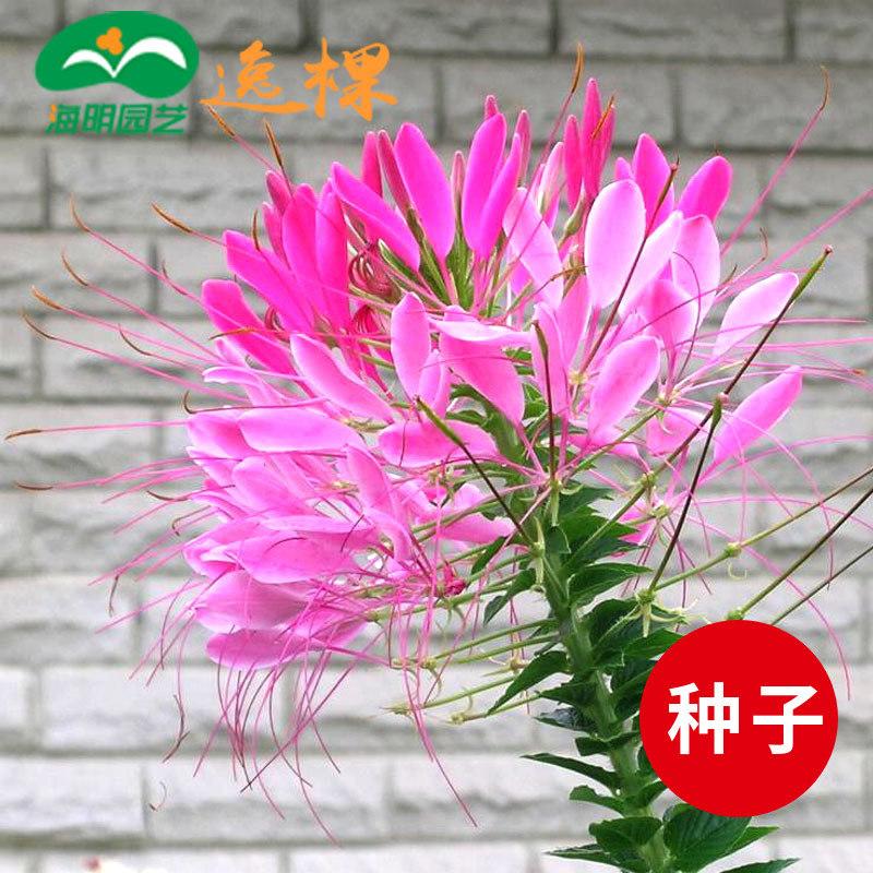 49包邮醉蝶花阳台四季种花卉种子花籽种子室内秋季秋播庭院花草