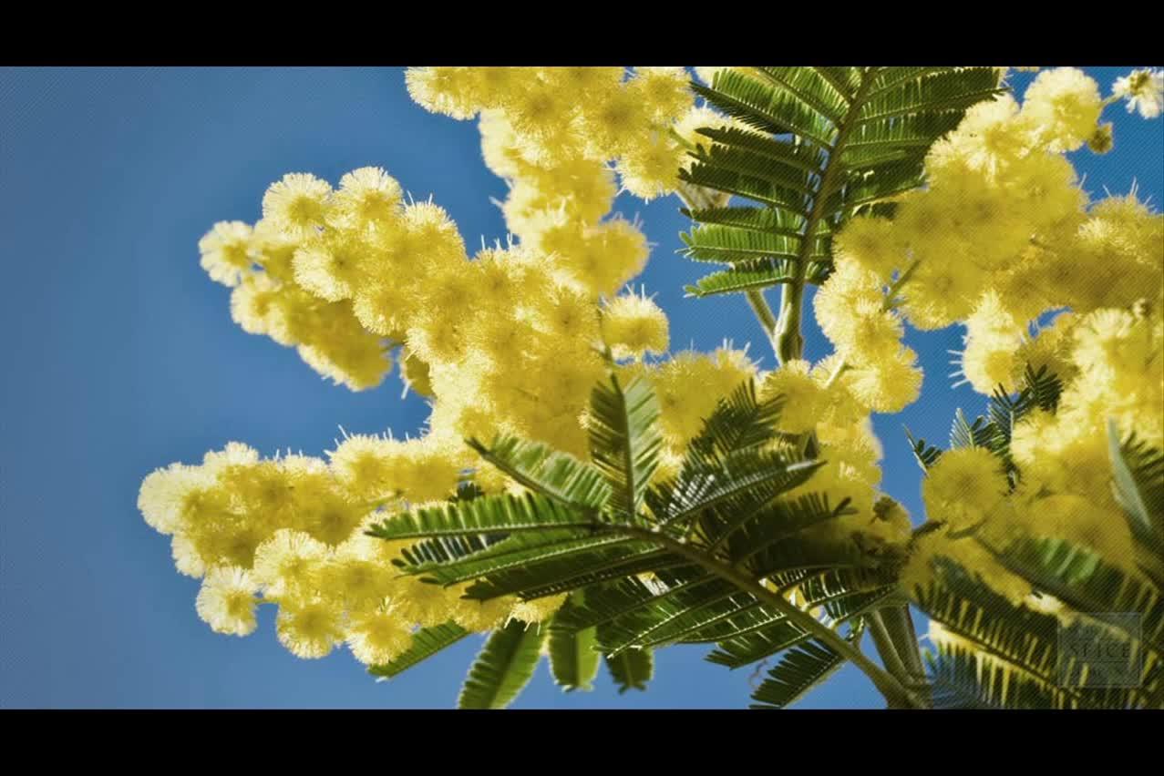 20 seeds acacia rare mimosa tree bonsai aroma bush seed VACHELLIA FARNESIANA