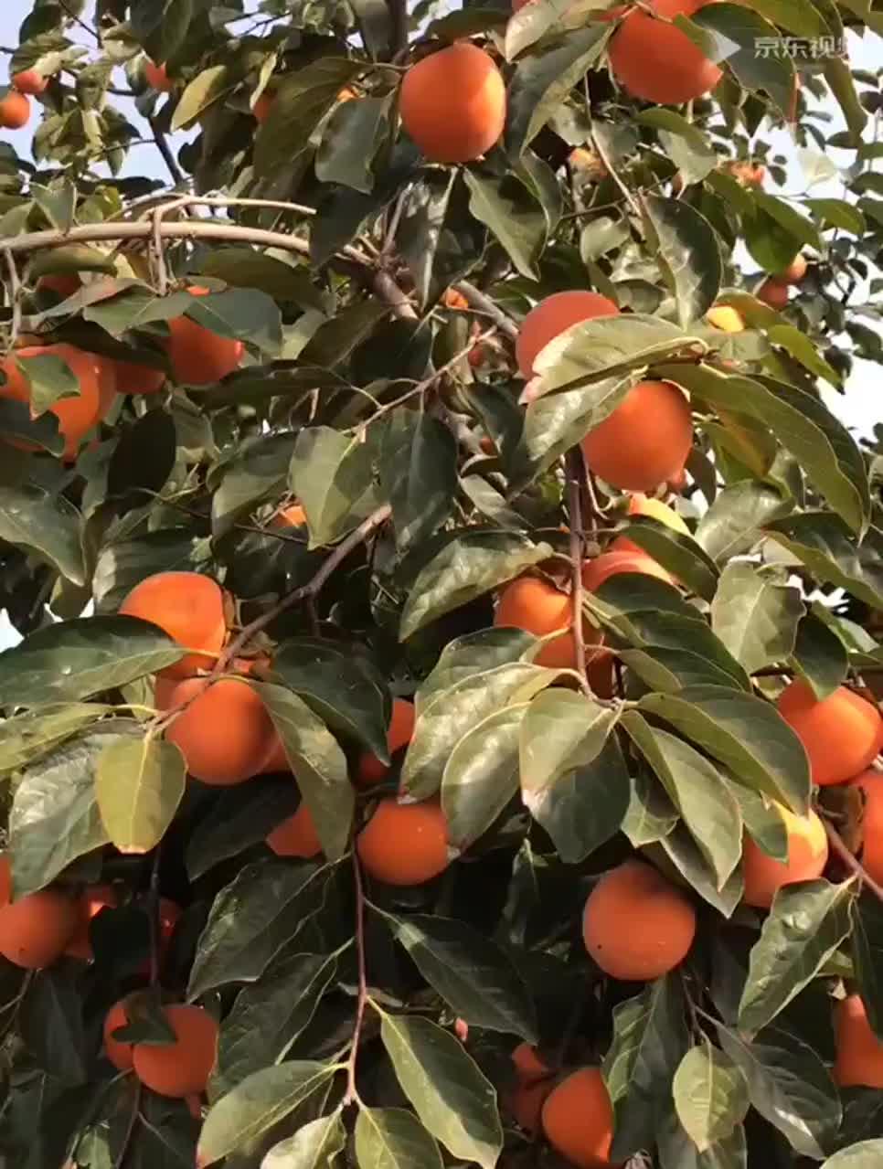 Ronda de frutos secos venta al por mayor de aire natural caquis secos fabricante