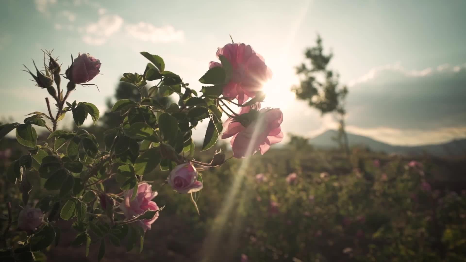 ขายส่งที่ดีที่สุดครีมนวดผมกุหลาบน้ำหอมดอกไม้ confitioner ยาวนานน้ำหอมสำหรับผู้บริโภคระดับไฮเอนด์