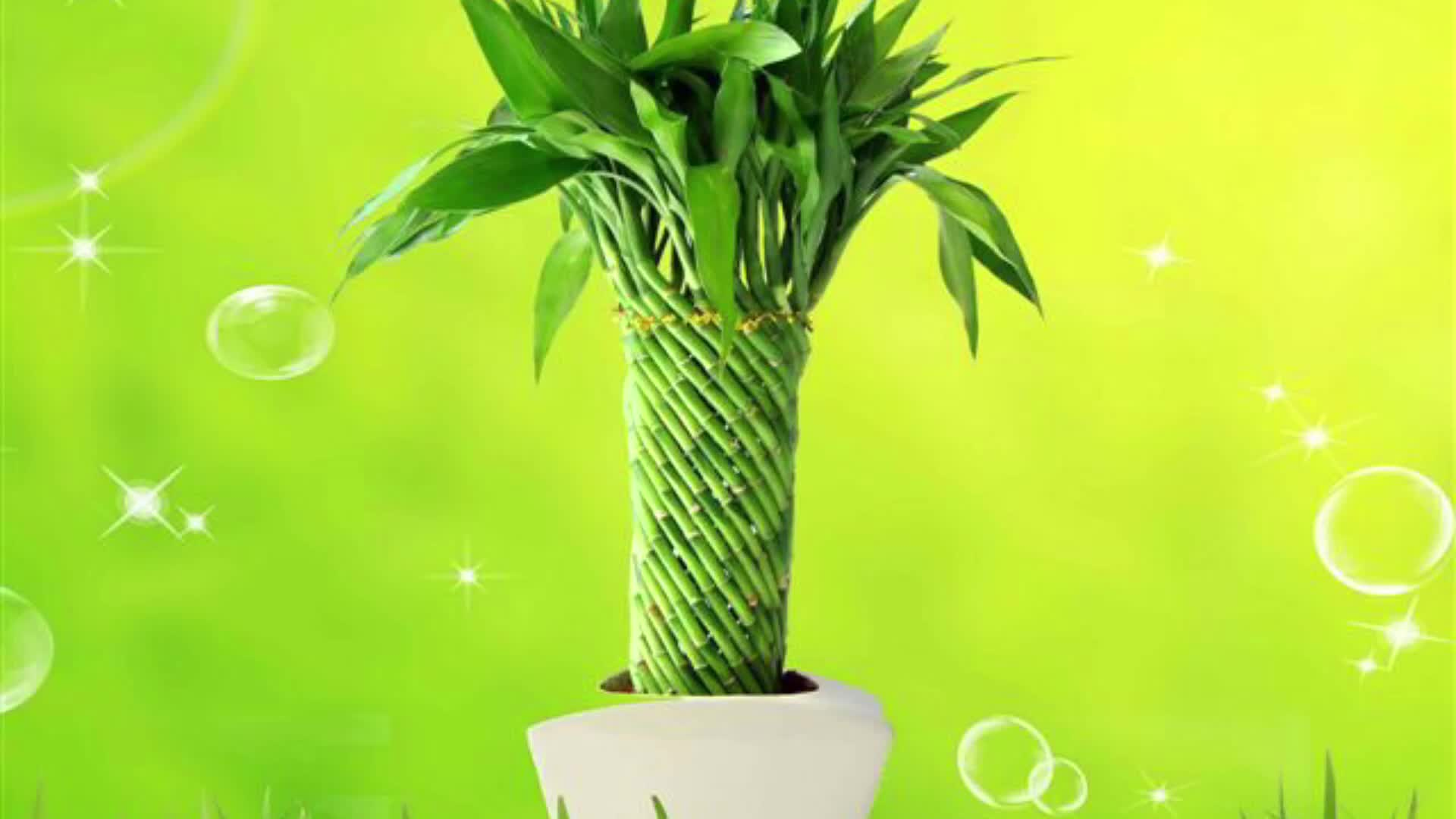 Farm price dracaena sanderiana live  indoor aquatic ornamental chinese fengshui plants pyramid lucky bamboo