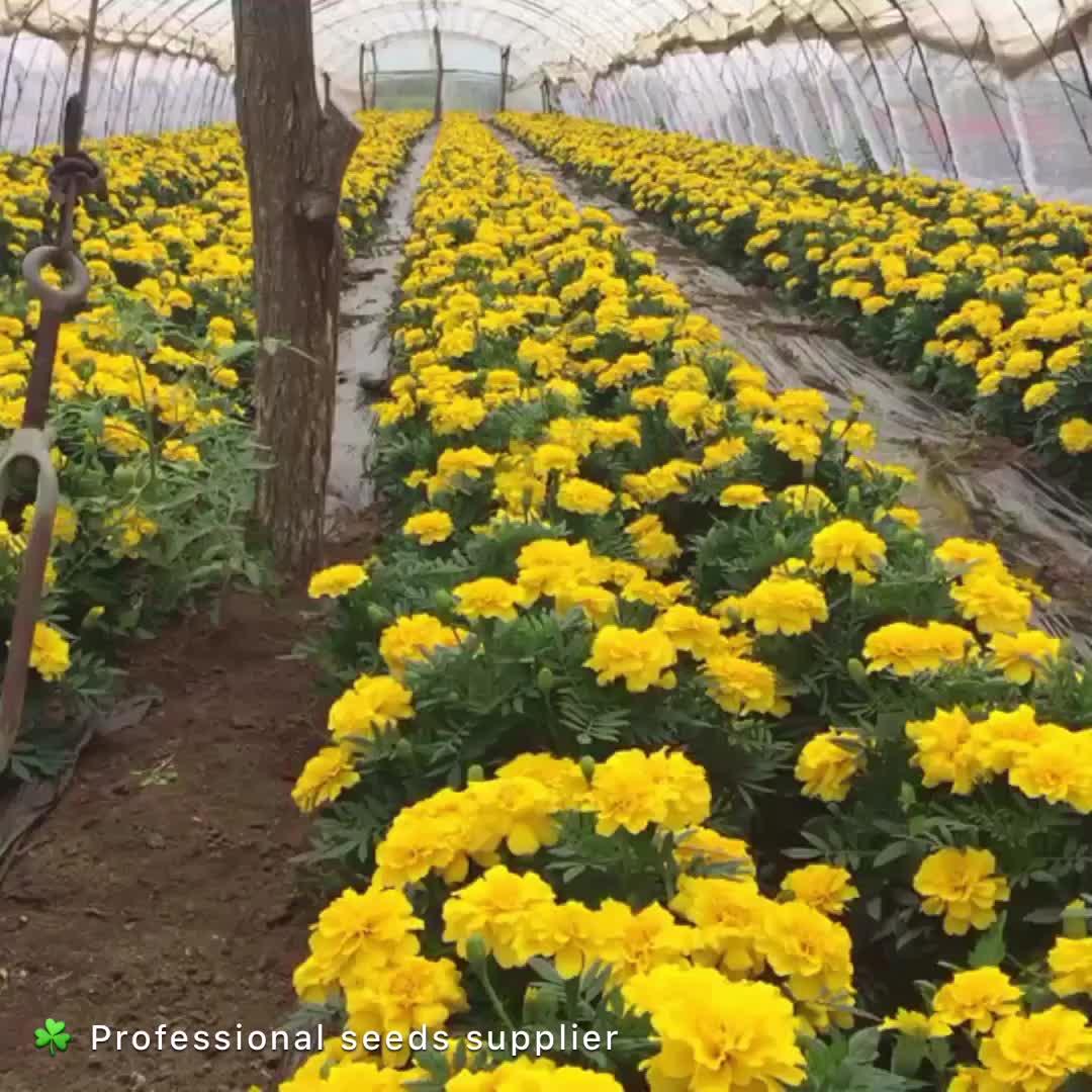2020 Gele Bloem Zaad Pot Goudsbloem Zaden Voor Het Planten