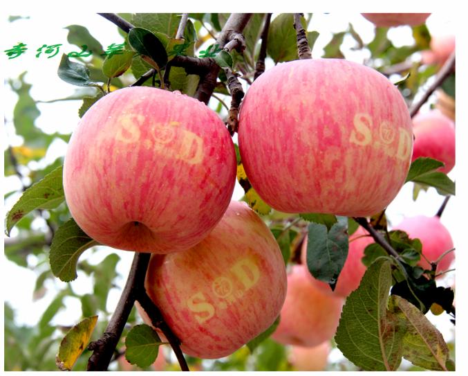 灵宝寺河山高山SOD苹果