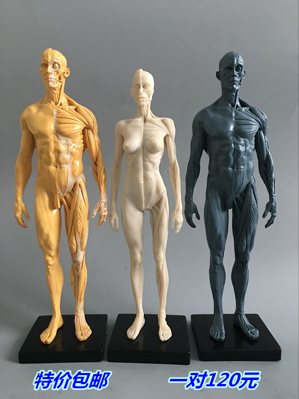 30cm Art Mannequin Musculoskeletal Anatomy Body Structure Art Model