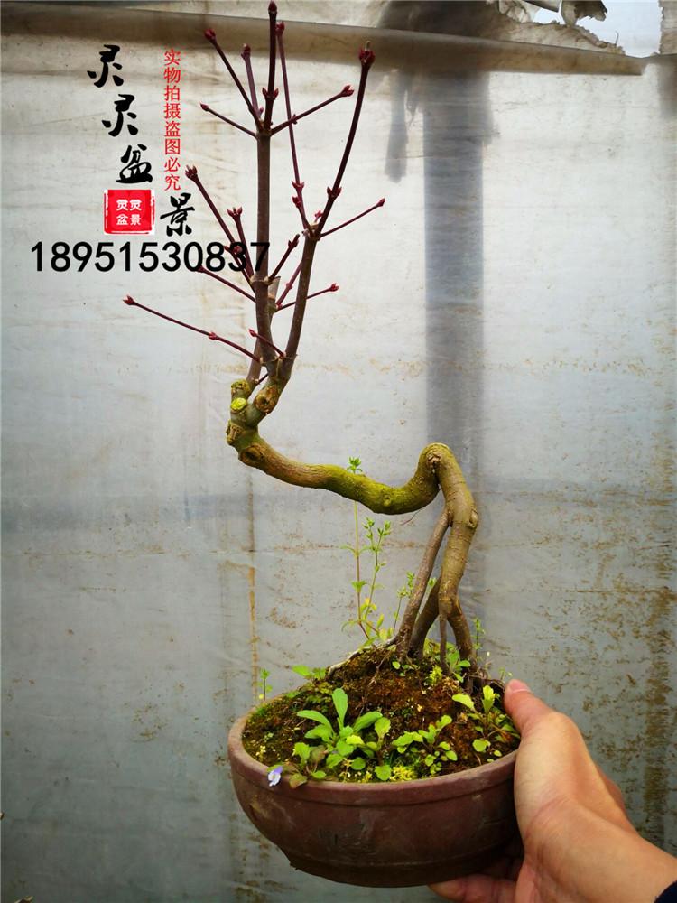 日本红枫盆景老桩舞姬盆景红实物日本红枫出造型猩猩包邮