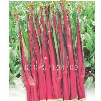 早熟红菜薹种子