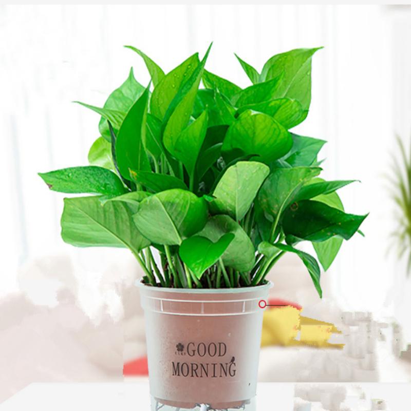 绿萝盆栽除甲醛净化空气室内办公室水培花卉绿植新房家用吸甲醛