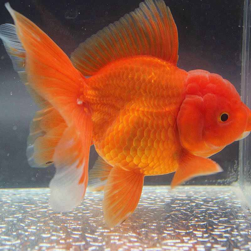 Boutique Thai lion f1 pleated skirt goldfish live ornamental fish  high-grade pet cold water rich red original breeding seedlings