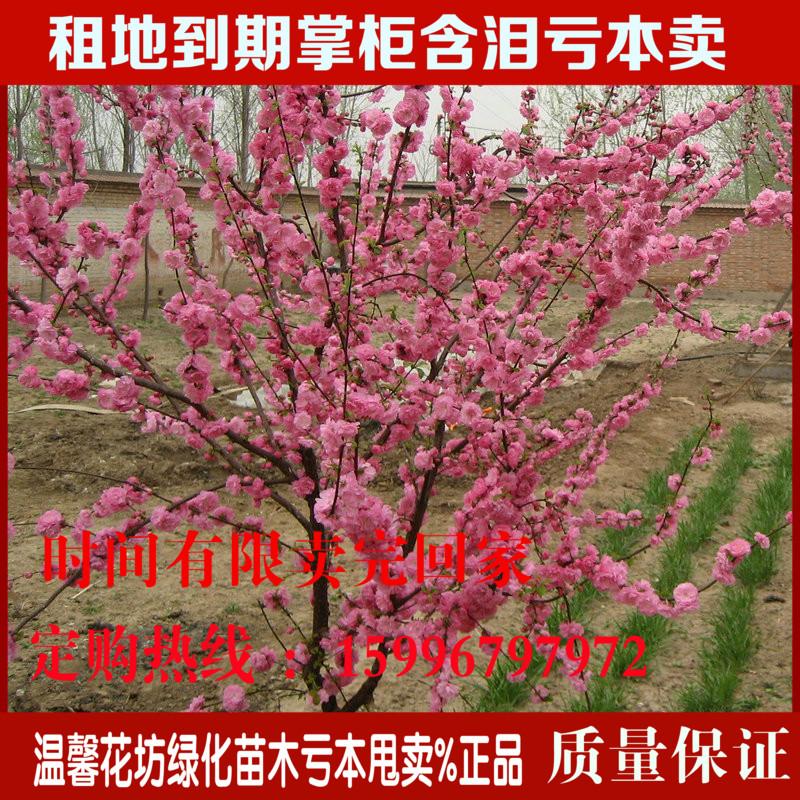 室内绿植盆栽花卉红梅树桩盆景红梅花苗批发工程绿化苗庭院植物