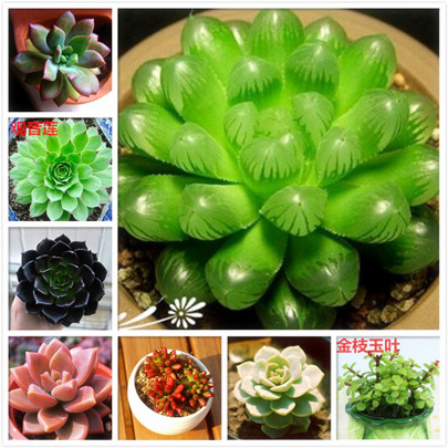 Multi-meat seeds Germany kk Import Potted Flowers Lotus Succulent Seed Combination Potted Hardcover 50 Grain