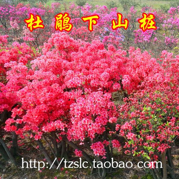 天柱山林场映山红桩 杜鹃花盆景树桩盆栽植物木本花卉苗现挖现发
