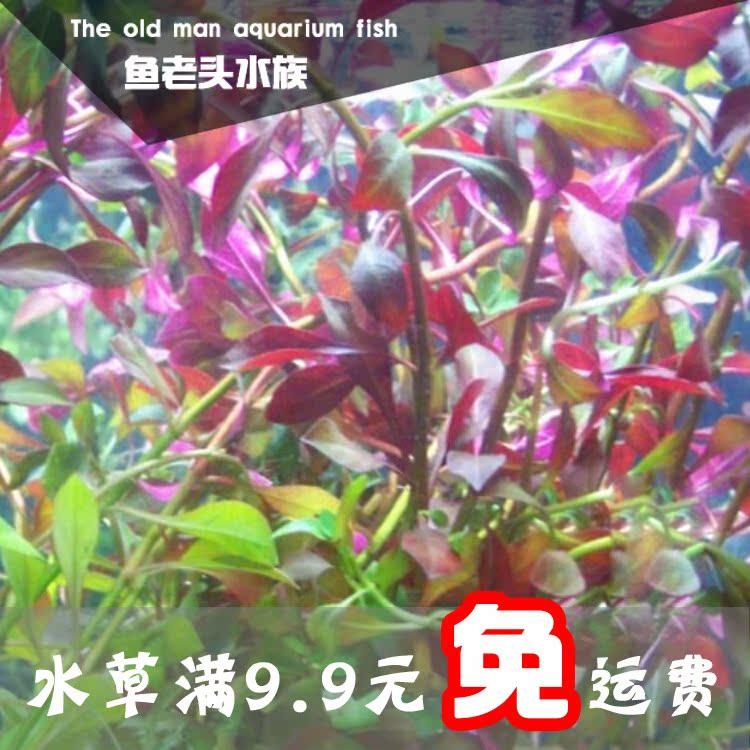 紫红丁香/紫丁香/红丁香水草水下叶中后景水草自家养殖