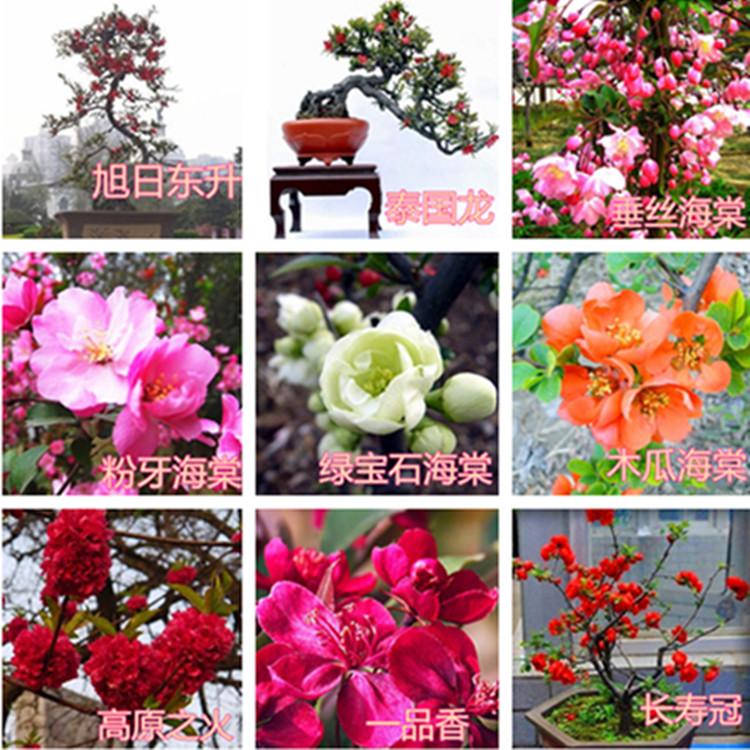 日本海棠盆栽四季盆景室内绿植花卉庭院阳台西府北美海棠老桩包邮