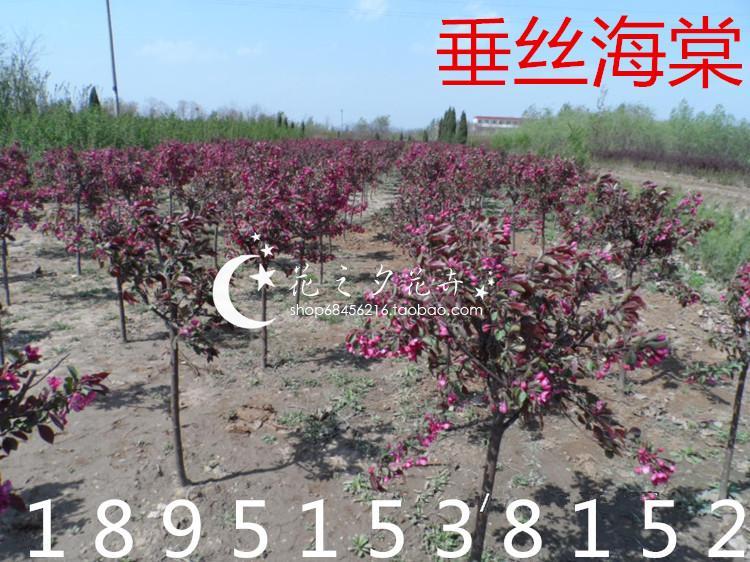 海棠树苗西府垂丝北美红宝石海棠老桩盆景盆栽庭院红宝石当年开花