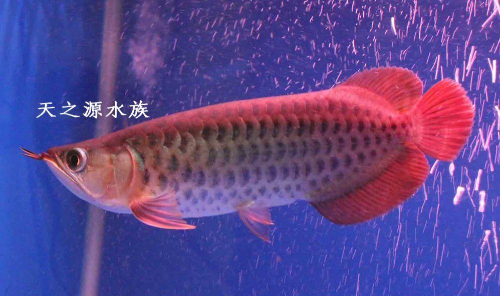 新加坡红龙鱼视频_新加坡红龙观赏鱼、龙鱼 金龙鱼风水鱼观赏鱼上门自己提不快递