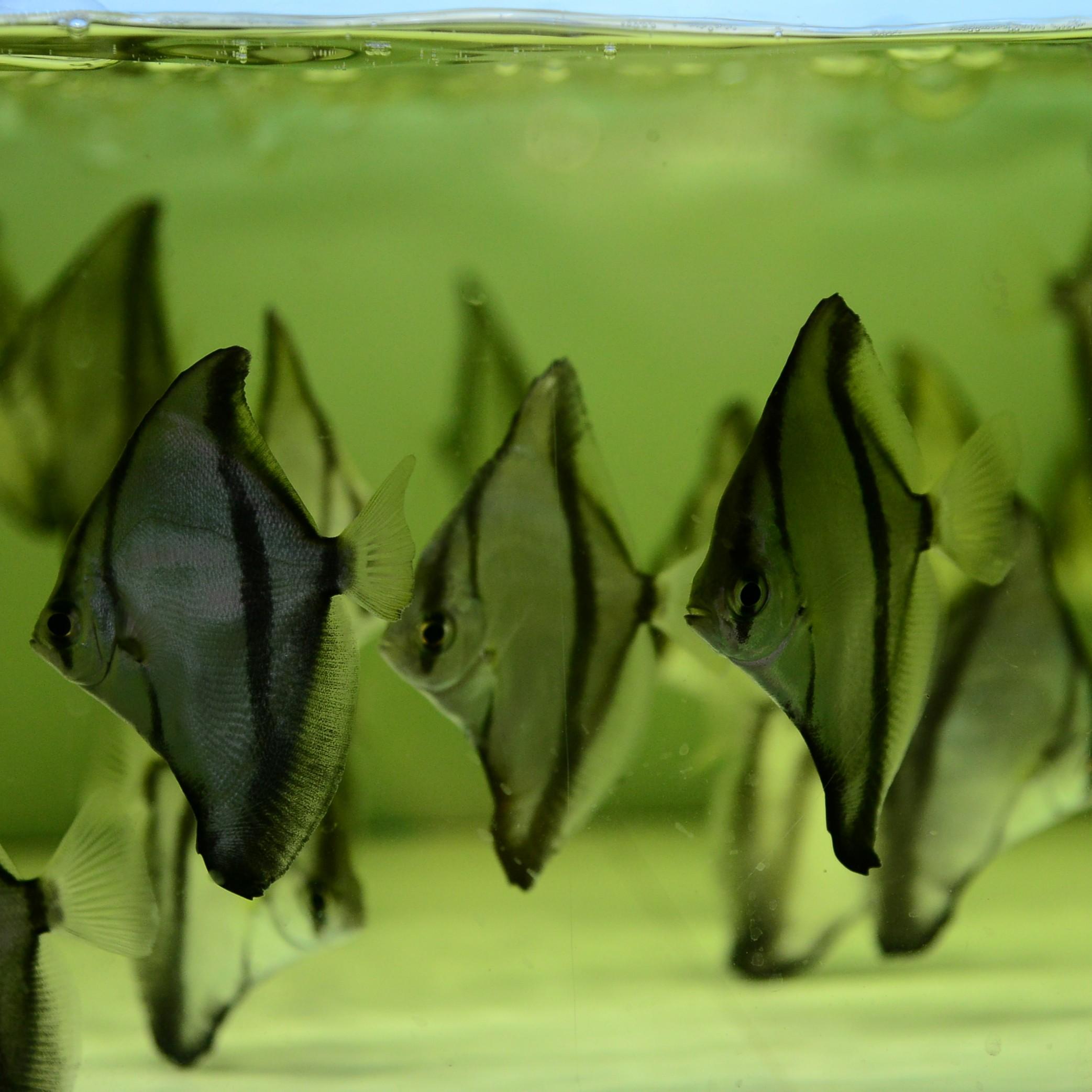 黄鳍金鱼价格_