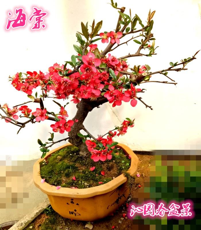 实物西府海棠盆景树桩木瓜海棠老桩 精品老桩室内外观赏植物包邮