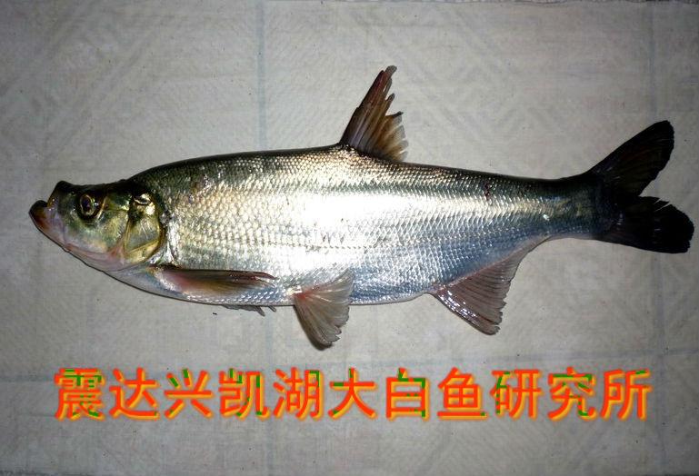 兴凯湖大白鱼多少钱一斤