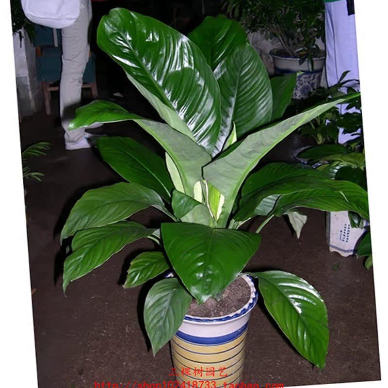 绿巨人花怎么养_绿巨人盆栽 常青植物 吸收甲醛 室内盆栽大型绿植 高档盆景 花卉