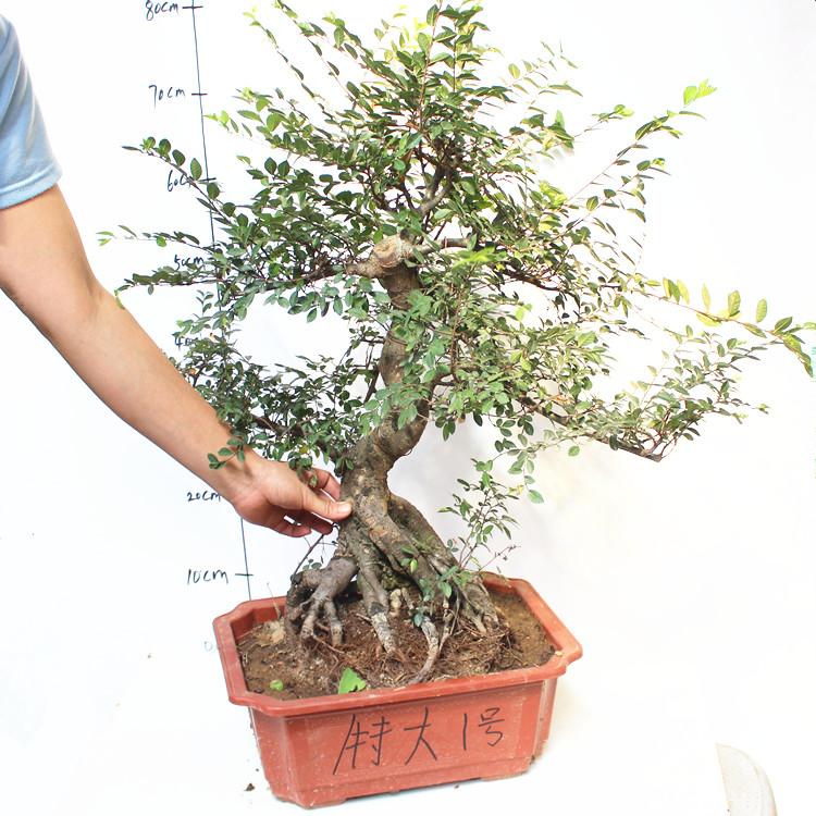 榆树树桩盆景盆栽小叶榔榆熟盆露根微型小树桩现货一物一拍图片