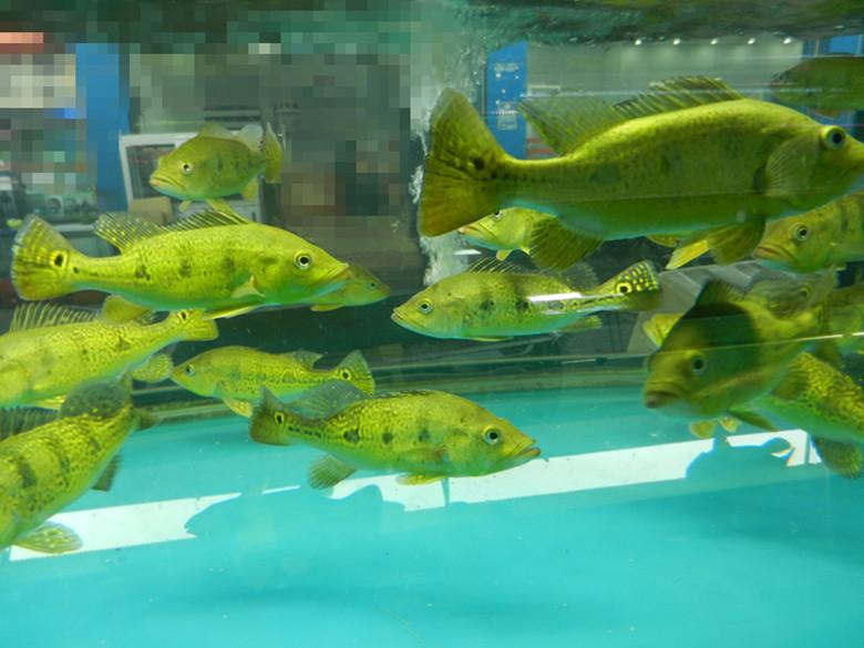 龙虎凤鱼_24k喷金巴西亚鱼 三间金老虎 龙鱼虎鱼飞凤热带鱼搭配(18-20cm)