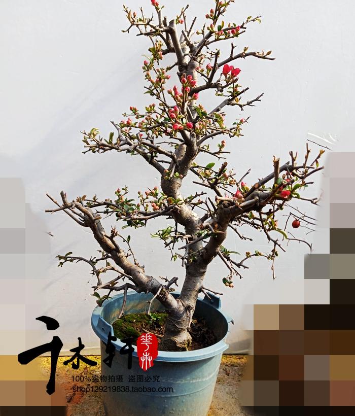 实物西府海棠盆景树桩海棠老桩一物一发室内外观赏植物包邮