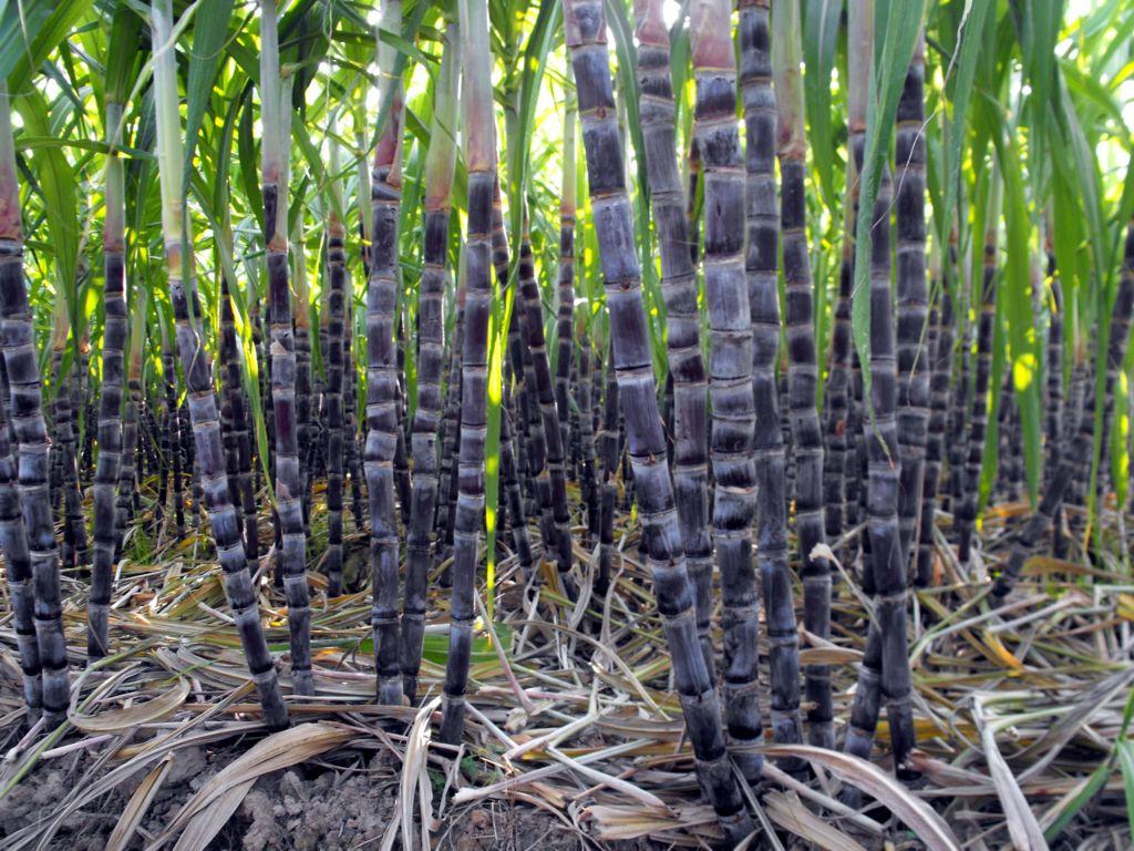 产地直销广西正宗新鲜落皮紫红甘蔗 水分足很甜 批发价格很实惠