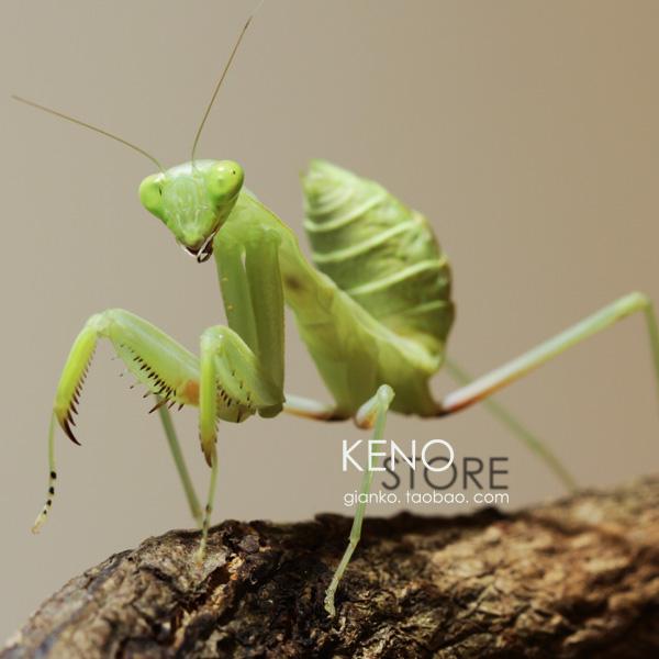 下午,发现喜欢螳螂