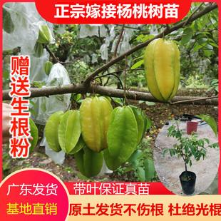 杨桃果树苗正宗台湾嫁接四季甜杨桃树苗地栽盆栽南方种植当年结果