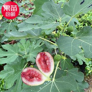 无花果树苗盆栽南方四季阳台庭院地栽当年结果特大无花果苗树苗