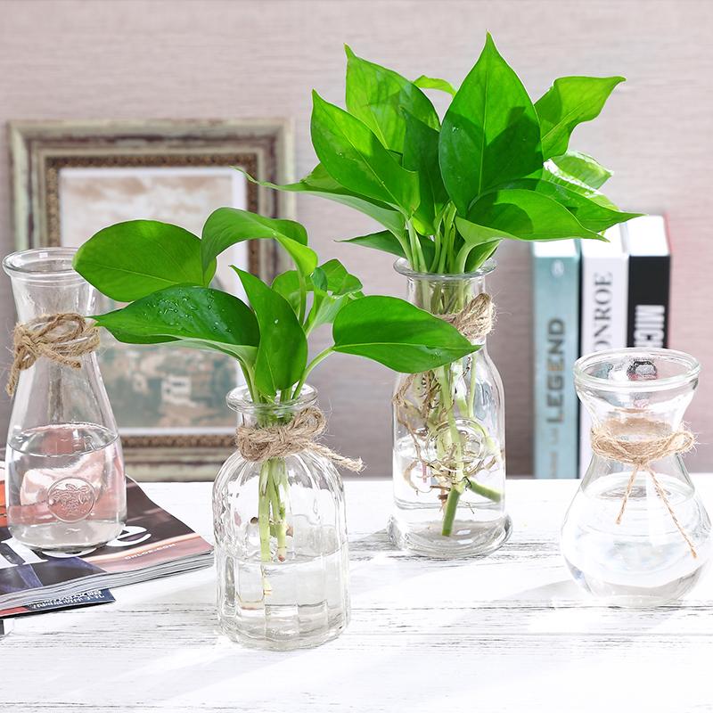 四季水培植物绿萝吊兰含玻璃花瓶室内桌面绿植盆栽花卉水养吸甲醛