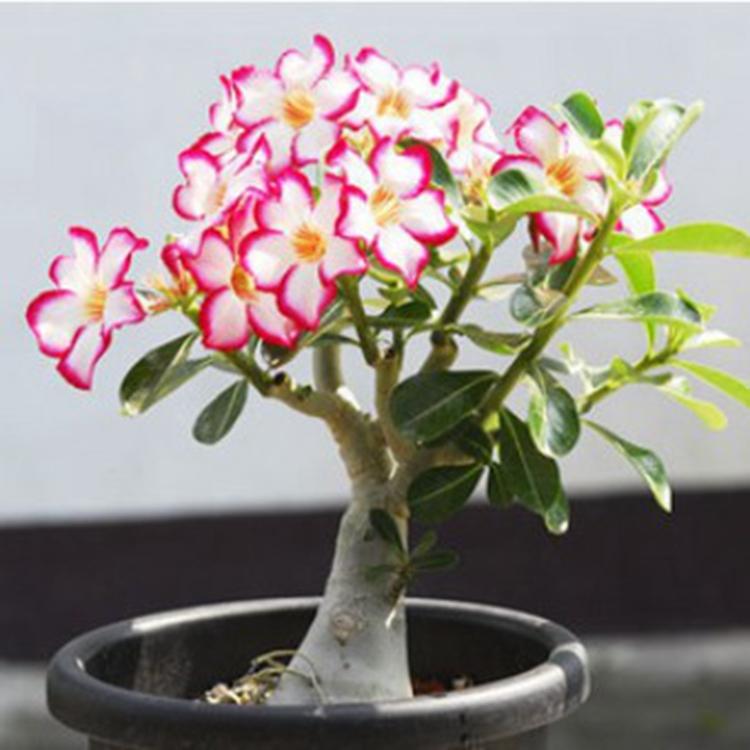 新款室内观花植物重瓣沙漠玫瑰大苗水培花卉庭院绿植盆栽当年开花