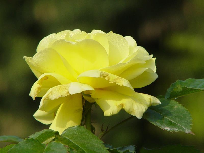 温江玫瑰园